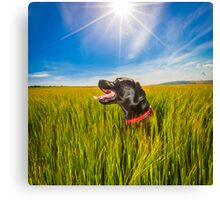 Labrador in the Fields Canvas Print