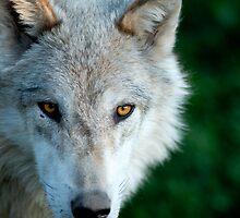 Wolf by BigshotD3