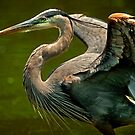 Great Blue Heron Liftoff by Joe Jennelle