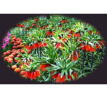 0range Crown Imperials - Keukenhof Gardens Photographic Print
