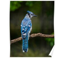Blue Jay Profile Poster