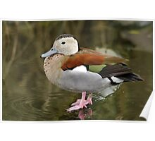 Ringed Teal Poster