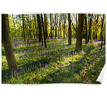 Light streams on the bluebells at Oversley Wood Poster