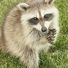 Raccoon by WILDBRIMOWILDMAN