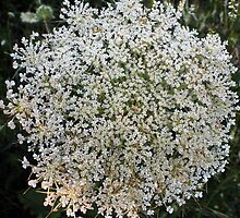 Wildfower Macro series: Queen Anne's Lace , Part One  by Max Buchheit