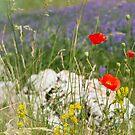 Poppies, Piano Grande, Umbria, Italy by Andrew Jones