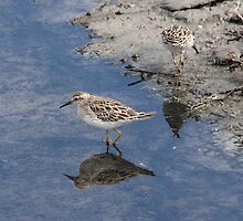 Sharp-tailed Sandpiper by mosaicavenues