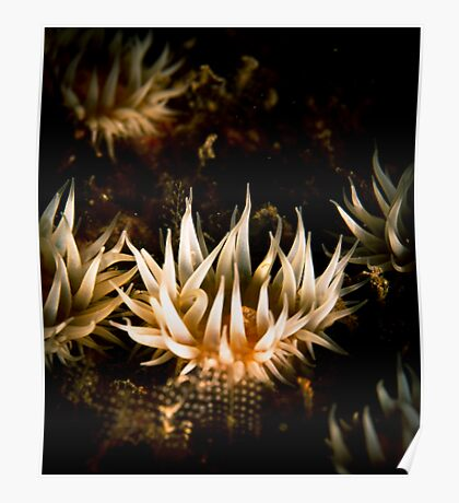 White Striped Anemone (Anthothoe Albocincta)  Poster