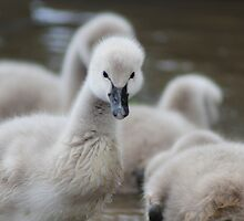 Young Swans  by Melissa Dickson