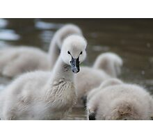 Young Swans  Photographic Print