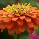 Zinnia Blossom by Rainy