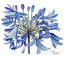 Agapanthus Flower Photographic Print