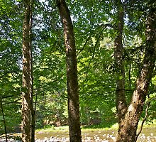 Yellow Birch by the river by Carolyn Clark