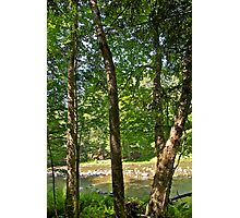 Yellow Birch by the river Photographic Print