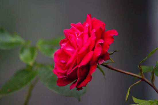 Rose  by jdnash89