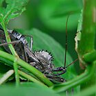 Wheel Bug / Assassin Bug  by Ron Russell