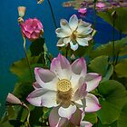 Lotus Pool by Chris Lord