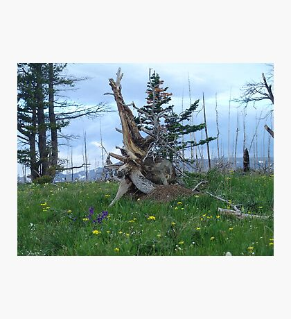 ROOT SCULPTURE IN A BURN - NR BROWNING, MT Photographic Print