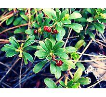 Wild Berries Photographic Print