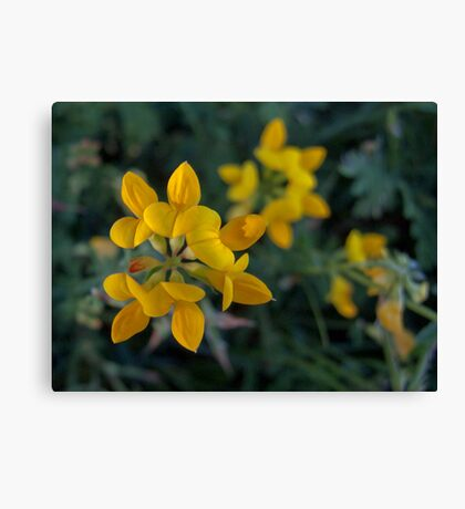 Wild Flower Series:  Birdsfoot Trefoil  No. 2 Canvas Print