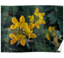 Wild Flower Series:  Birdsfoot Trefoil  No. 2 Poster