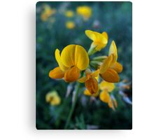 Wildflower series: Birdsfoot Trefoil, No. 1 Canvas Print
