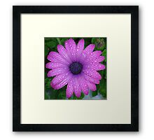 Purple African Daisy with Raindrops Framed Print