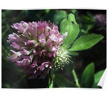 Wildflower series: Wild White Clover, No. 2 Poster