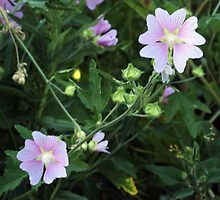 Wildflower series:  Mallow by Max Buchheit