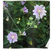 Wildflower series:  Mallow Poster