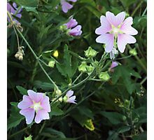 Wildflower series:  Mallow Photographic Print