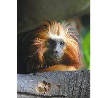 Golden-headed Lion Tamarin Photographic Print