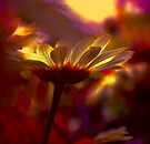 Daisy Glow by Teresa Pople