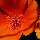 California Poppies by Tori Snow