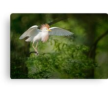 Cattle Egret in Cypress Swamp Canvas Print