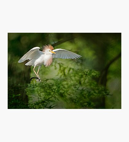 Cattle Egret in Cypress Swamp Photographic Print