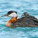 Red-Necked Grebe with chick by (Tallow) Dave  Van de Laar