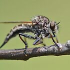 Cute and Fluffy Robber Fly by William Brennan