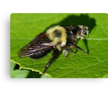 Robber Fly Bumble Bee Mimic Canvas Print