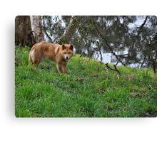 Australian Dingo Canvas Print