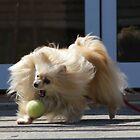 pom playing fetch 2 by Ike Faithfull