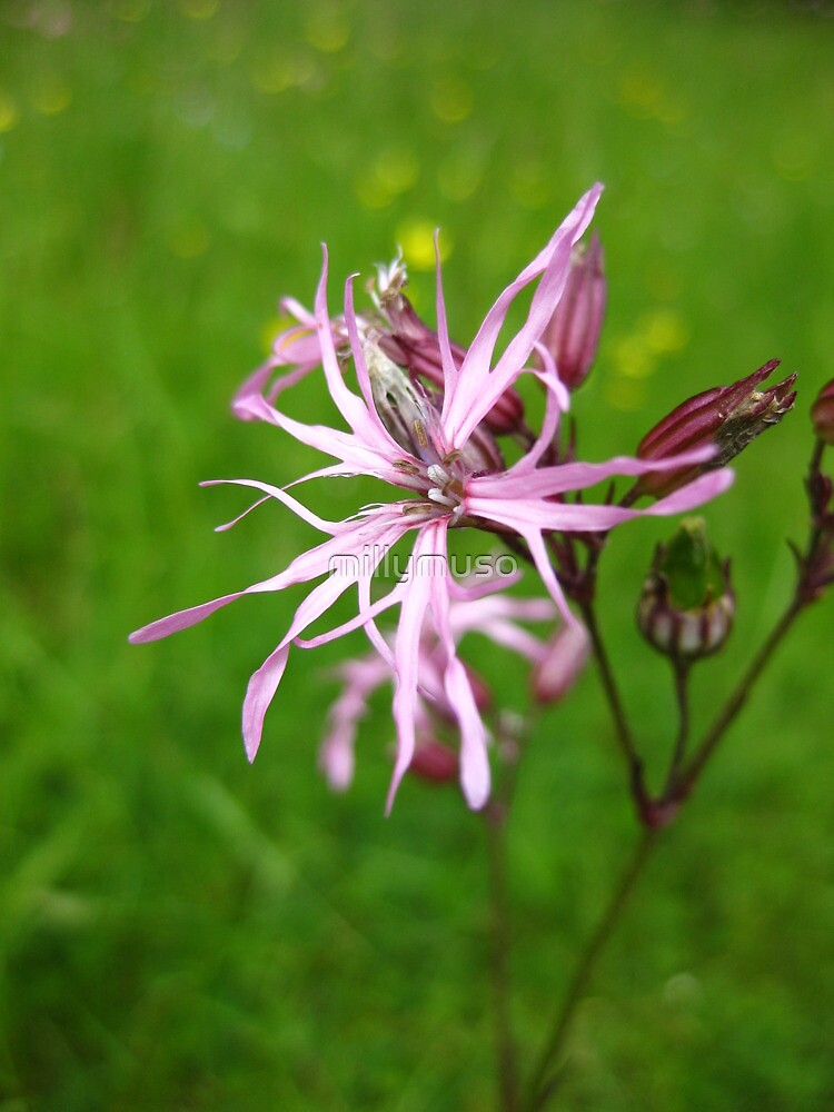 Ragged Robin by millymuso