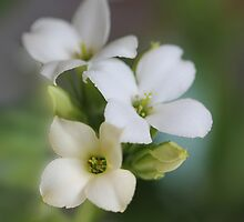White floral by Photos - Pauline Wherrell