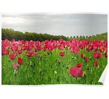 Red Poppies.... Poster