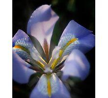 Shining Iris Photographic Print
