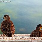 Two lil Ducks Went Out One Day by KBG-Photography