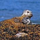 Seal and pup by David Alexander Elder