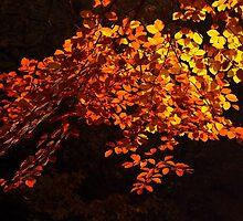 Autumn Beech by Neil Bygrave (NATURELENS)