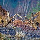 Red Deer Stags Rutting by David Alexander Elder