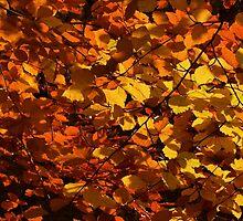 Autumn Beech Leaves by Neil Bygrave (NATURELENS)